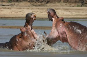 The poor, misunderstood, shockingly violent hippos.